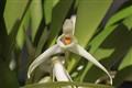 maxillaria splendens