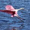 More Spoonbill Fun 02