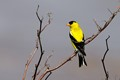Perched Am. goldfinch