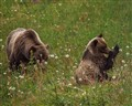 famous bear 64 & 1 of her triplets (1 of 1)