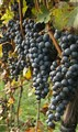 Bunches of grapes ready for harvest