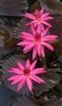 Sarasbag Lotuses and Lilies