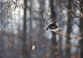 Woodpecker In Flight With Seed
