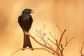 African black bird in the evening light