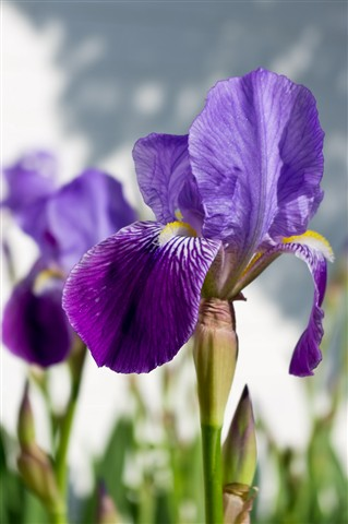 Irises at FEI close1