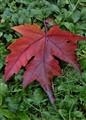 Liquid Amber leaf