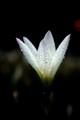 Dew White
