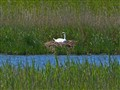 breeding swan