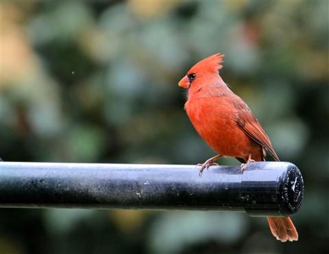 cardinal.male1