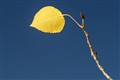 last aspen leaf