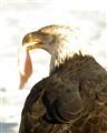 Bald Eagle2-153531-2
