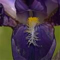 Hungry Iris
