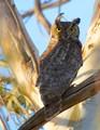 Great Horned Owl,Napa Salt Marsh.