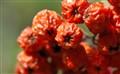 Dried_Berries