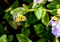 The Blue Banded Bees are busy in my garden in South Australia