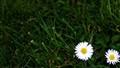 Flower Grass