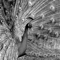 The most colorful bird in the world - in B&W