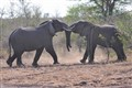 Tussling tuskers