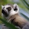 lemur 1m