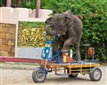 The elephant's bicycle(tricycle)