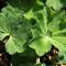 Sweden, Wermlandia, Alchemilla vulgaris - Lady's Mantle