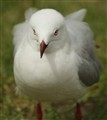 Sydney Harbour Gull