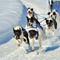 six sled dogs racing