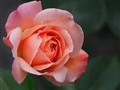 Rosa 'Compassion'_MAC1495dpr