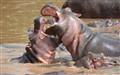 Quarling hippos