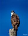 Osprey  2423