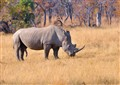 Male rhino, mating season