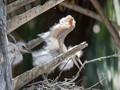 Necked Egret