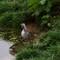 Sleeping Redshank