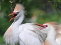Cattle-Egrets