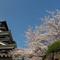 熊本城桜06panorama