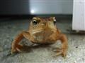 posing frog...