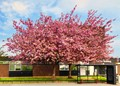 Cherry_Blossom_Trees
