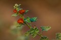 Flowering Weed-2502