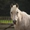 Arabian Horse: Pure bred Kadonis, b1989, will be 29 years old this year