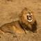 Lion_8393