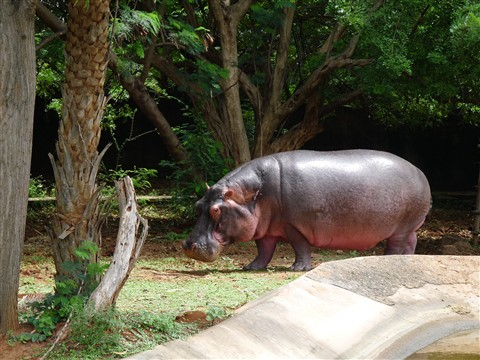 Rhino in Vizak Zoo,India