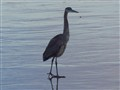 Ice blue great heron
