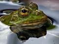 Macro - Amphibian