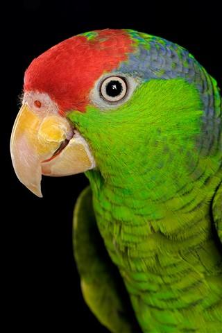 redhead amazon parrot