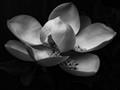 magnolia (1 of 1)