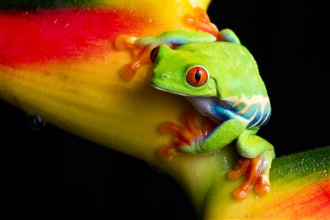 Red Eyed Tree Frog-8730