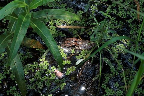 gators  July 30 032