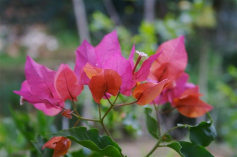 Bougainvillea_by_WR