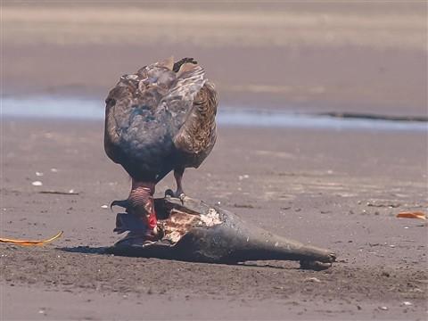 Bird eating Marlin Head