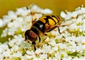 Hoverfly Up Close